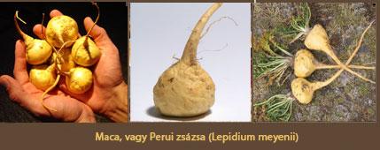 A maca, vagy perui zsázsa, az Andok afrodiziákuma, az inkák ajzószere
