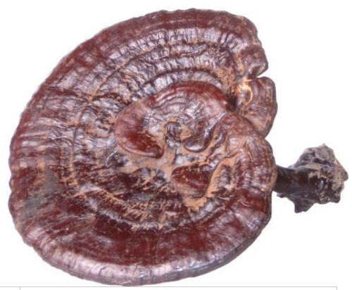 Ganoderma-Lucidum-Reishi-Polysaccharide