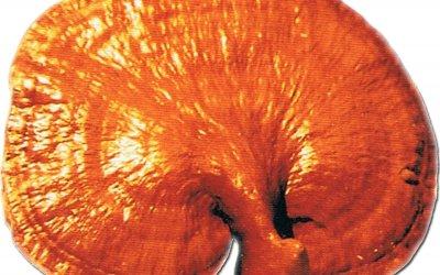 Tanulmány, a ganoderma hatásairól